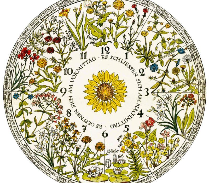 часовник на цветята